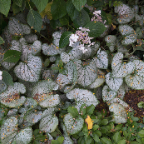 Caladiums-in-the-Bishop's-Garden.jpg